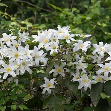 Clematis paniculata. 