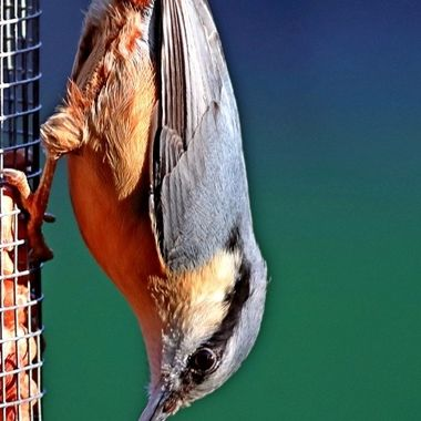 The nuthatches constitute a genus, Sitta, of small passerine birds belonging to the family Sittidae. Characterised by large heads, short tails, and powerful bills and feet, nuthatches advertise their territory using loud, simple songs. Most species exhibit grey or bluish upperparts and a black eye stripe.