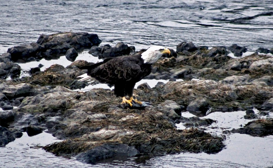 Eagle on the Hunt on the Susquehanna River