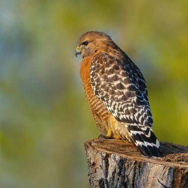 Red-shouldered Hawk DSC07517