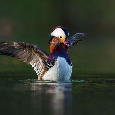 Mandarin Duck male DSC07450