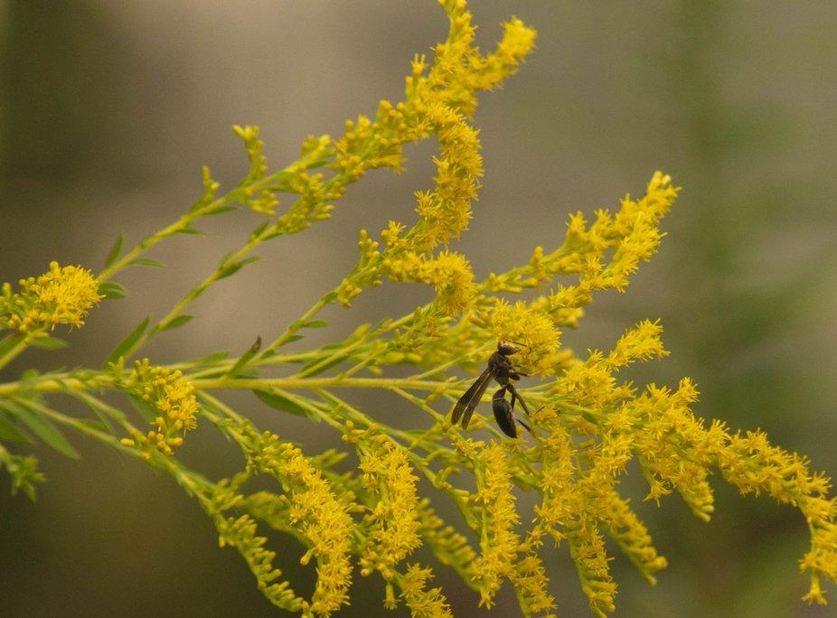 20200915-684181 Wasp like pollen