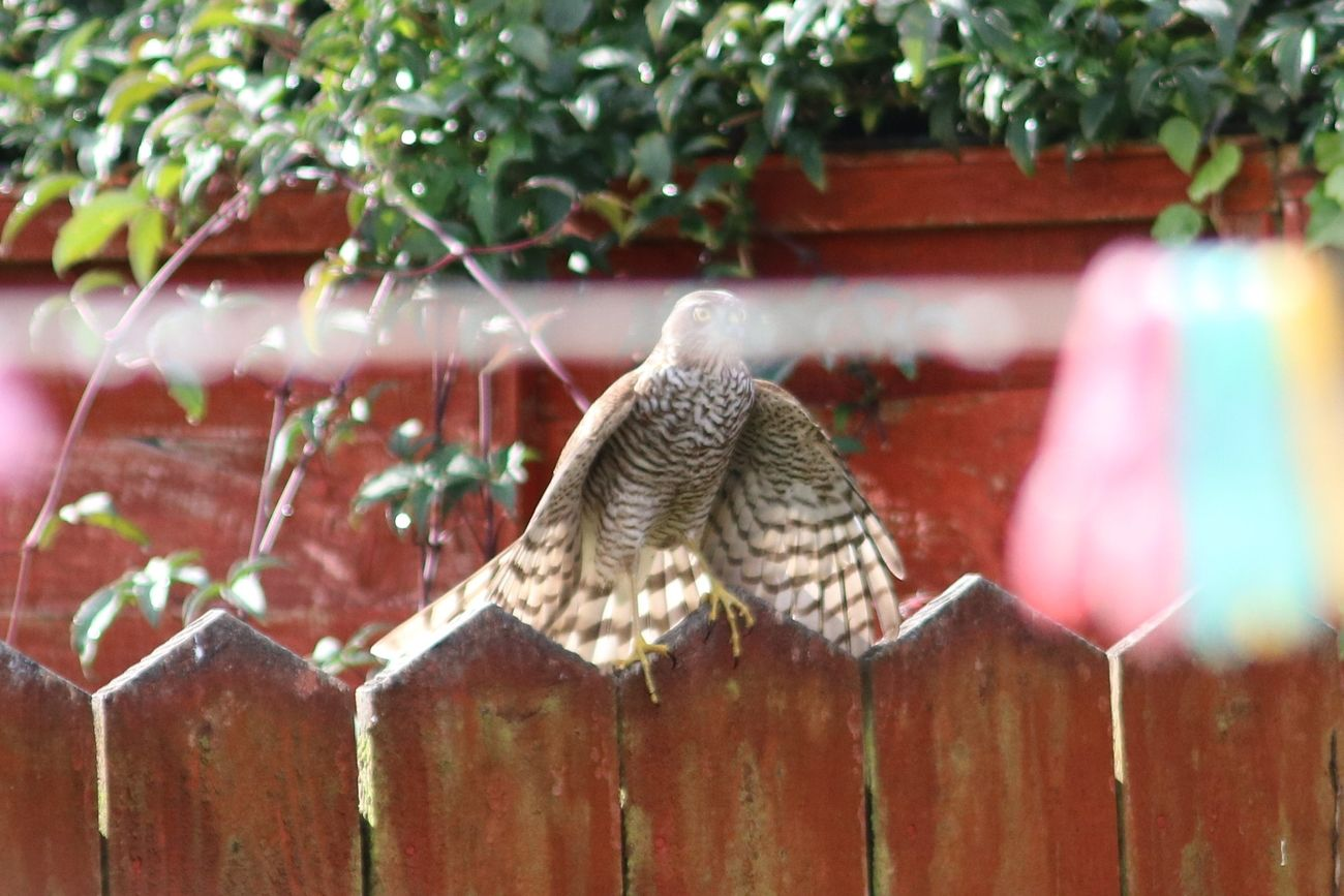 These were taken in my back garden.  The Sparrow Hawk had just missed lunch so was resting and on the lookout. I got to about 2 meters away from her.  She then flew past me at about elbow height and landed on my next door neighbour's garden fence. She then flew off .