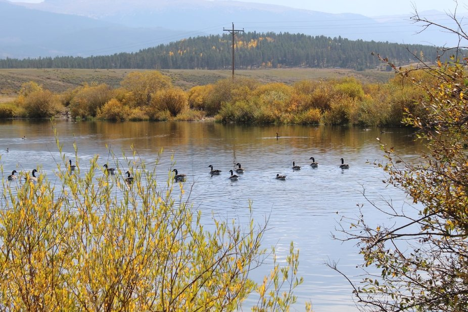 Ducks and geese swimming on a little pond in the Rocky Mountains of Colorado