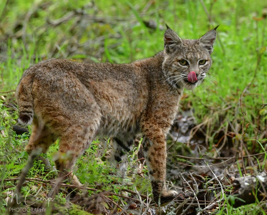 Bobcat taking a nice cool drink of spring water .