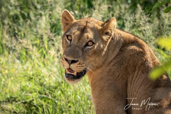 Lioness 2020