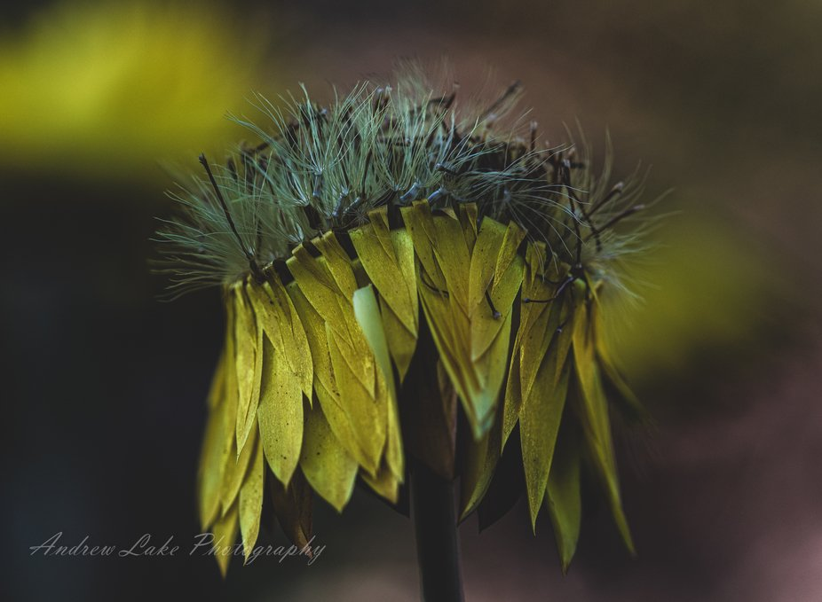 Paper Daisy dying