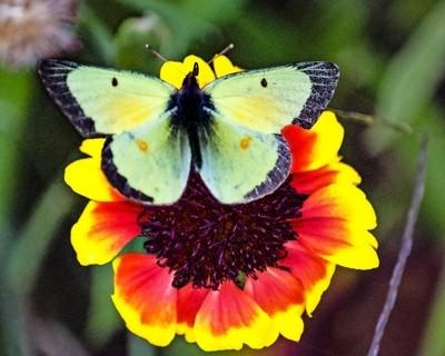 Late Season Clouded Sulfur Butterfly