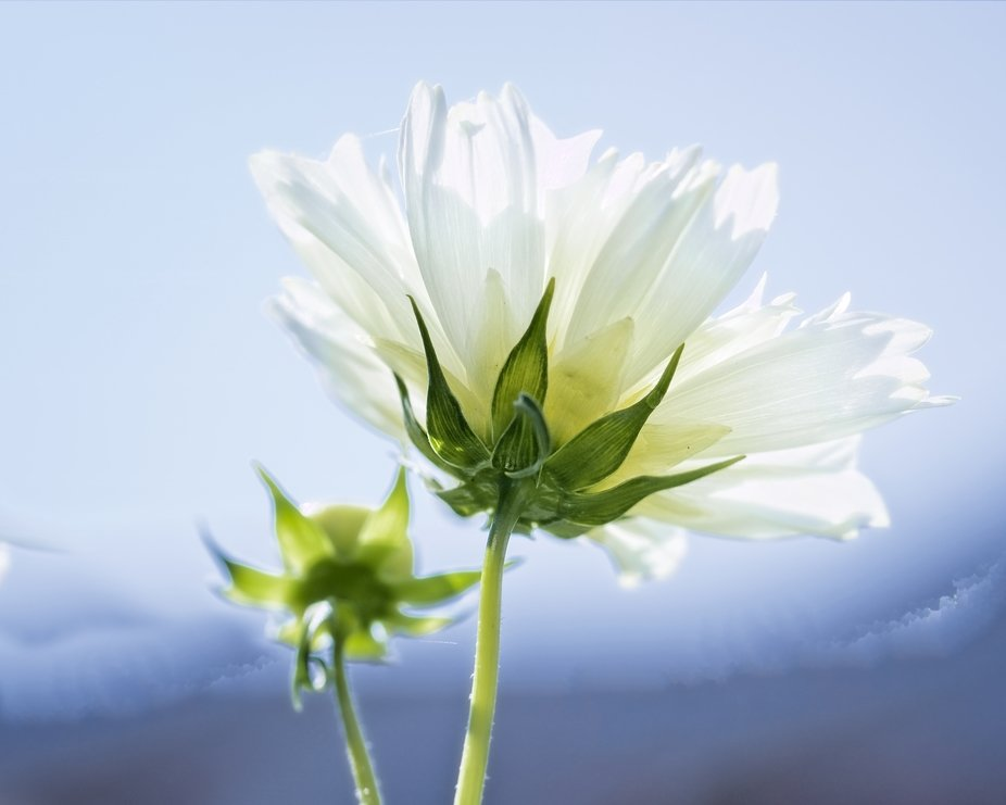 A white Cosmos blossom with the sun in the background,,,
