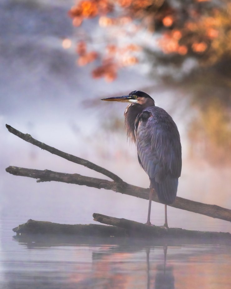 Blue heron on a misty morning