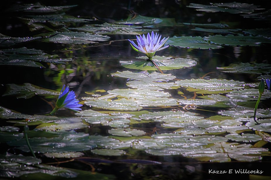 a beam of light shone onto this area of water lilies