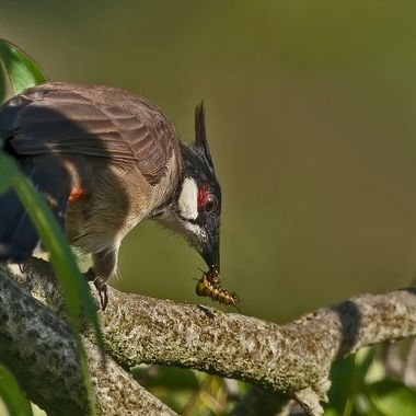 Red-Whiskered Bulbul  with worm DSC07160