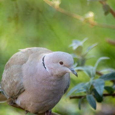 collared dove-0271