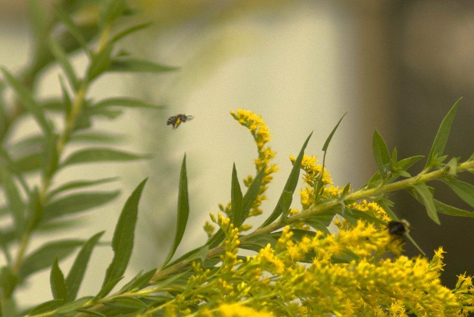 20200915-684177 - Bee in Flight