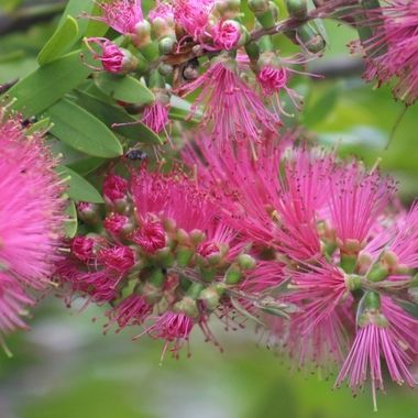 Pink Bottlebrush
