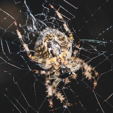 spider-6443