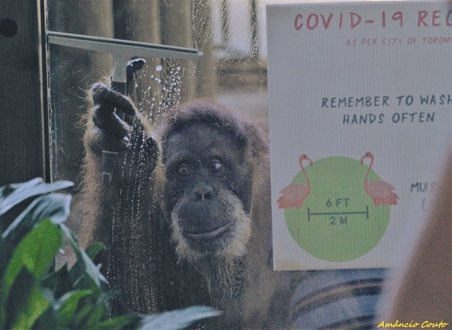 Orangotango is a cleaning worker at Toronto Zoo...