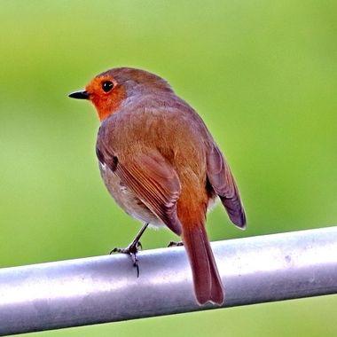 Robin, European Robin or robin redbreast, Erithacus rubecula, Filham, Ivybridge