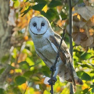Barn Owl DSC07612
