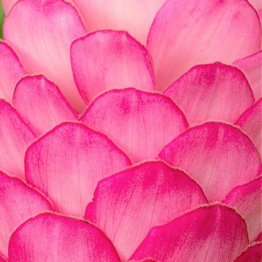 Close up of Pink Ginger