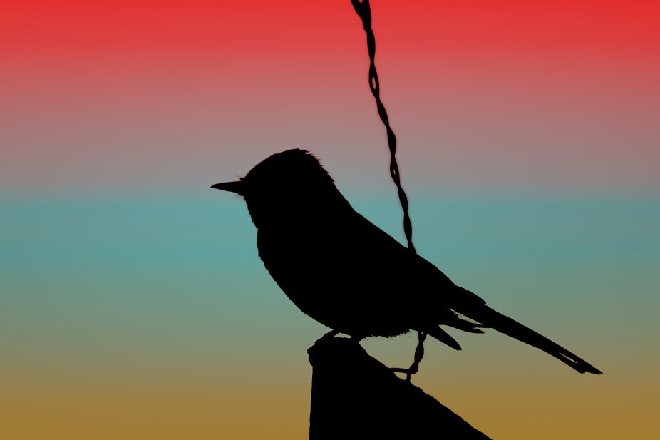 """""""Black Phoebe on Sign Silhouette on Tuscan Sunset """" is a photograph taken in Pa..."""