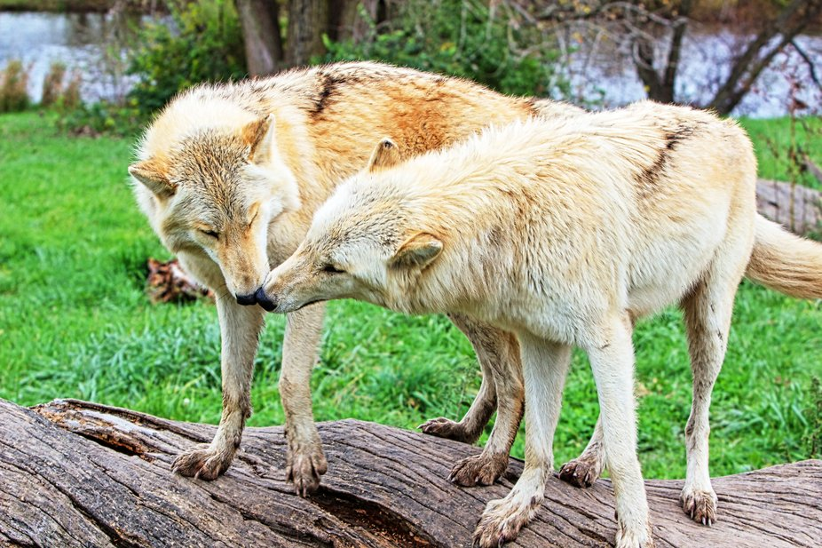 Brothers Bicho and Kanti at Wolf park.