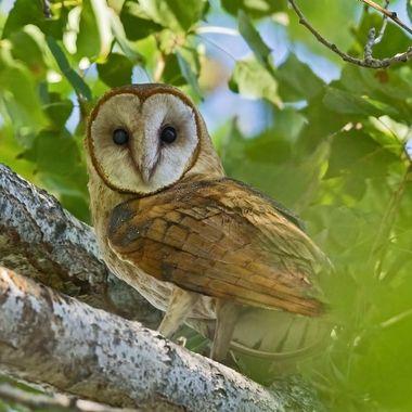 Barn Owl DSC08007