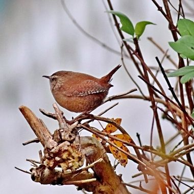 Wrens are a family of brown passerine birds in the predominantly New World family Troglodytidae.