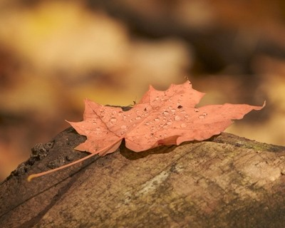 A single maple leaf on a log with the last of the morning rain