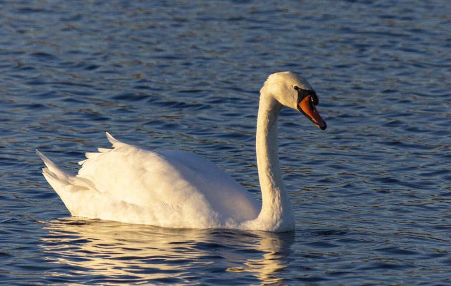 Closeup of a swan in the sunset