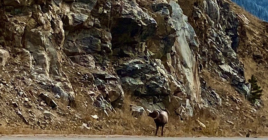 Big Horn Sheep in the Colorado Rockies
