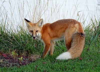 finally a fox foto