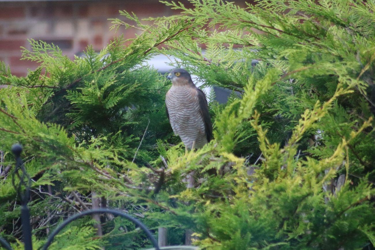Male Sparrow Hawk 2