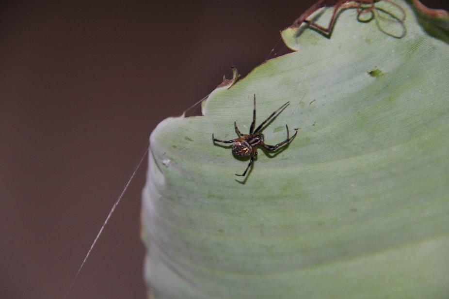 Spider I found under a tealeaf. blech!