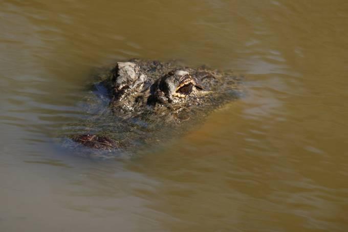 Alligatot
