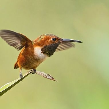 Allen's Hummingbird male DSC00186