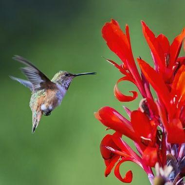 Allen's Hummingbird female DSC09560