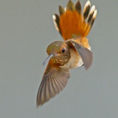 Allen's Hummingbird DSC05819