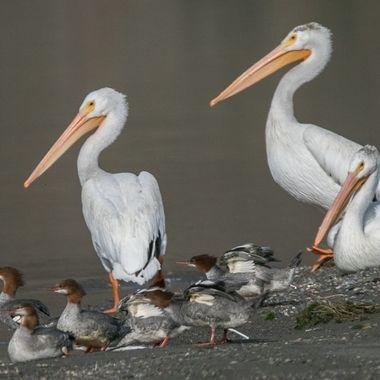 pelicans and Merganzers