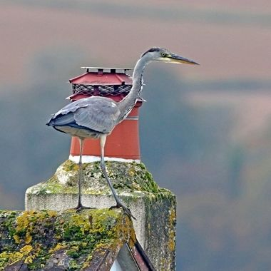 Grey Heron is found by lakes and rivers throughout the UK.