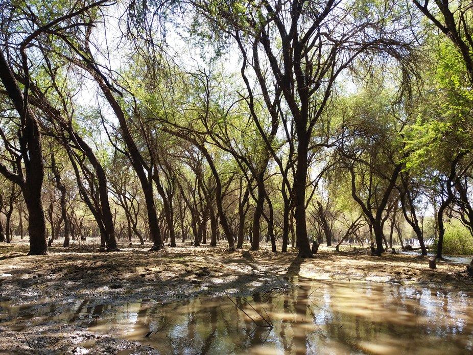 Entangled Sunut trees at al-Sunut Nature Reserve.