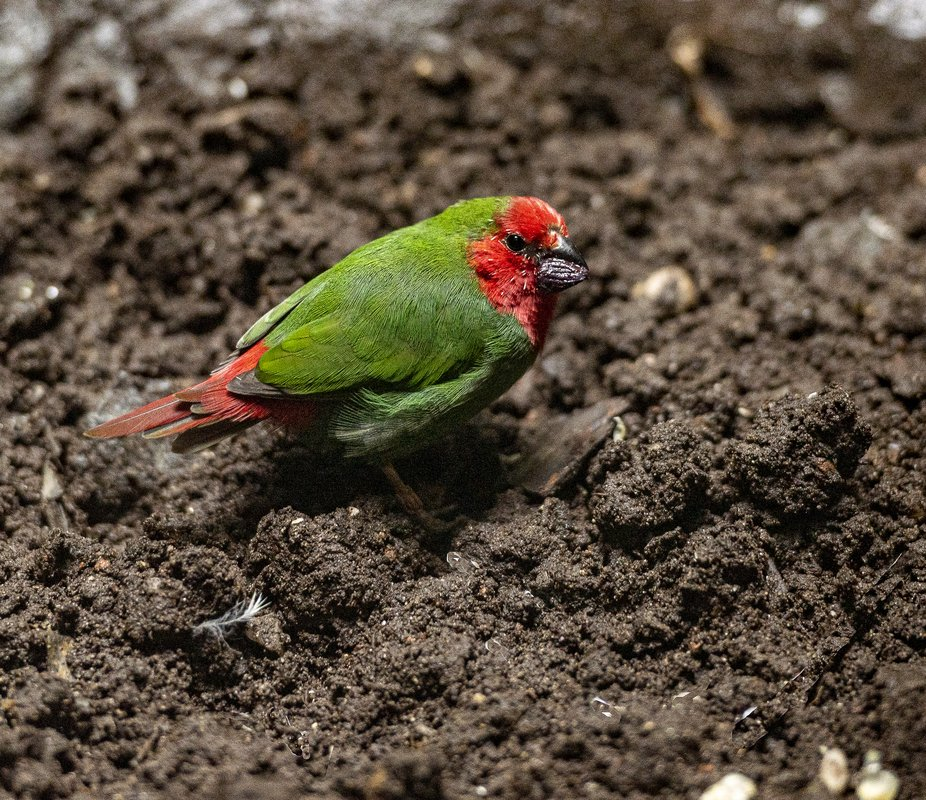 Red Faced Parrot on the Ground