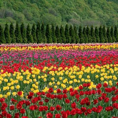 Hokkaido Tulip Fields