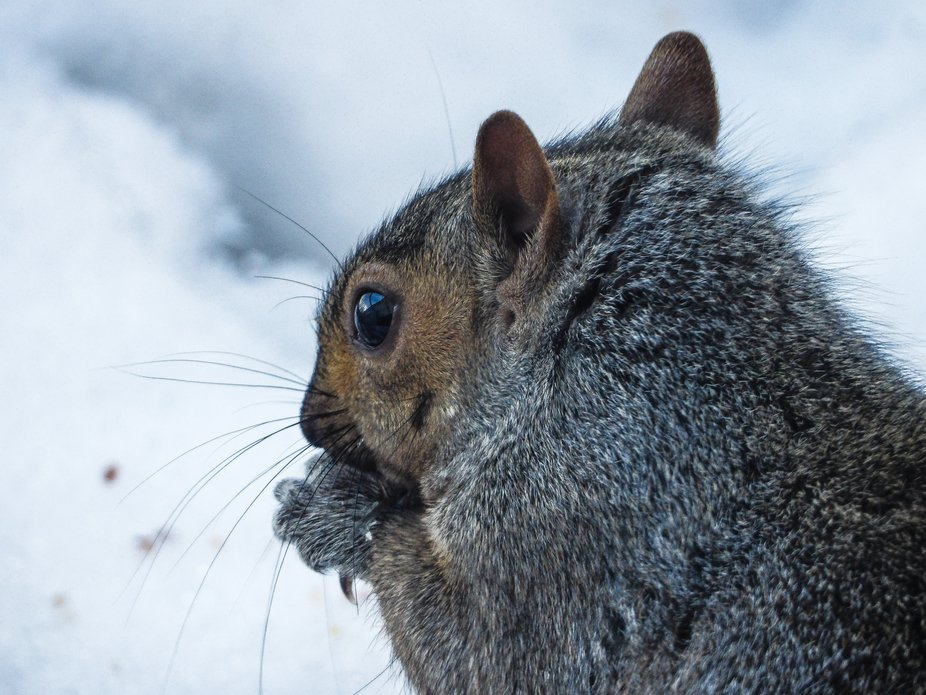 This is a grey squirrel munching on some seeds.