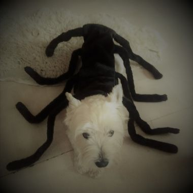 my gorgeous, creepy halloween spider dog