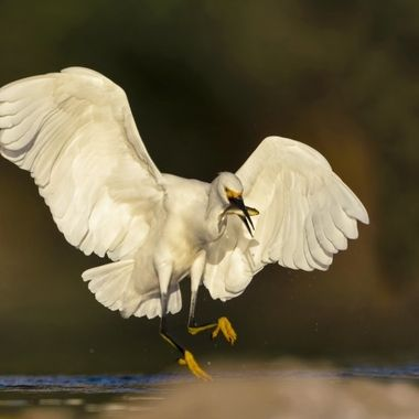 Snowy Egret catching a fish in the morning fog.