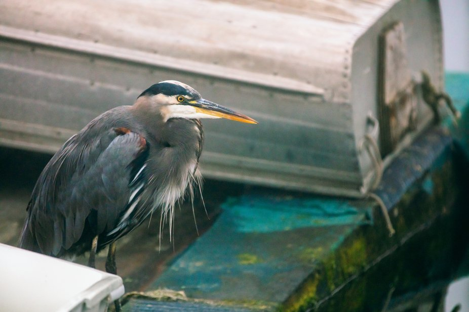 Heron By A Boat