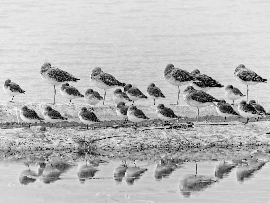 Dunlins and Yellowleg Sandpipers share the log in the tide flats of Puget Sound on Fir Island near Conway, Washington. They are migrating birds and recent arrivals in Washington.