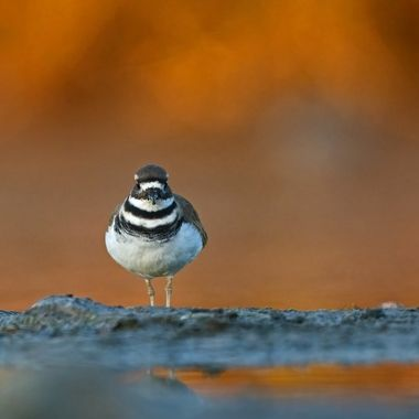 Killdeer looking straight at me in the early morning glow of the fall colors.