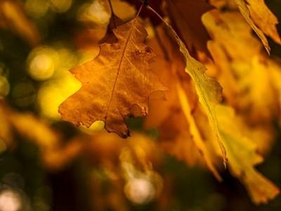 Feuille de chêne dorée